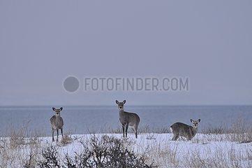 Group of Sika Deers surprised in the snow Japan