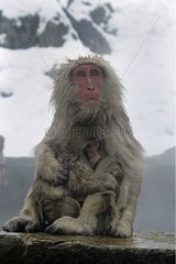 Japanese macaque and warm spring Honshu Japon