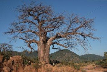 Baobab les fruits servent à faire le jus de malambe Malawi