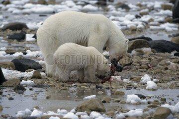 Polar bear female and its bear cub eating Canada