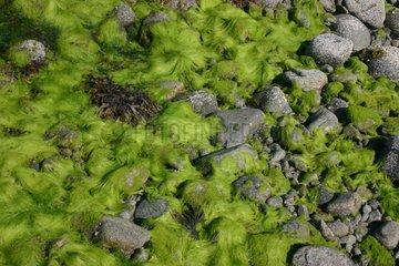 Alga and rocks at low tide Brittany France