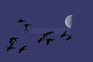 Vol nocturne des Canards et lune