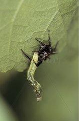 Jumping spider and its prey Panama
