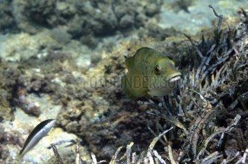 Green Wrasse Cote bleue MP Mediterranean Sea France
