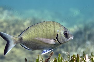 White Seabream Cote bleue MP Mediterranean Sea France