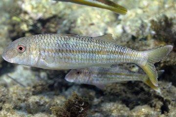 Goatfishes Cote bleue MP Mediterranean Sea France