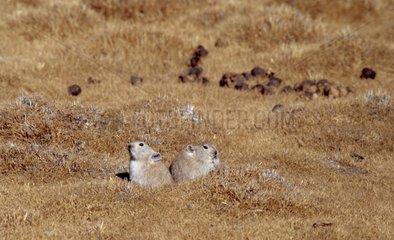 Couple of Royle's Pika among short grasses Tibet China