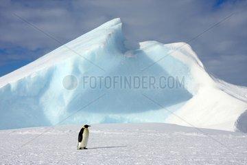 Emperor Penguin walking on ice Antarctica Snow Hill