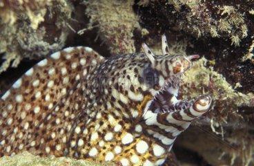 Dragon Moray Eel disturbed during stalk between rocks