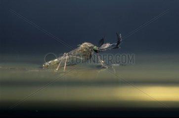 Moustique adulte se libérant de son enveloppe nymphale