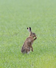 Brown Hare sitting in field at spring - Norfolk UK