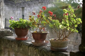 Pelargoniums in bloom on a balcony
