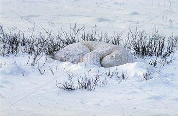 Polar bear sleeping in the snow Churchill Canada