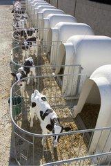 Veaux Prim'Holstein nouveaux-nés en cases individuelles