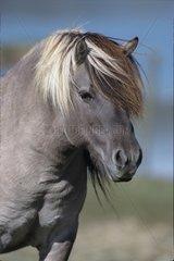 Portrait de cheval Tarpan France