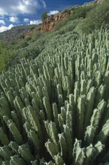 Euphorbia in the Moroccan backcountry