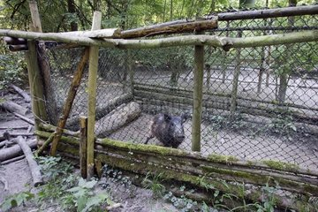 Wild boar captured and put out of cage for marking France