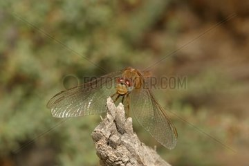 Portrait of Dragonfly depressed in Provence France [AT]