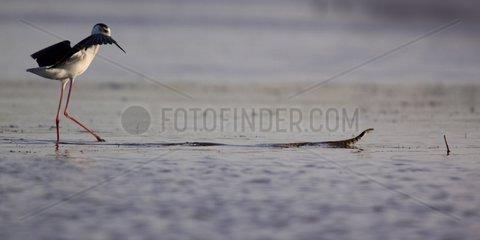 Black-winged Stilt surprised by a Grass snake France