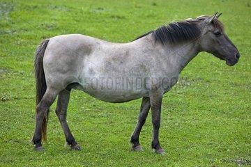 Tarpan in meadow Poland