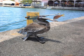 Pelicans on the dock eating Saupe Port of Pointe-à-Pitre