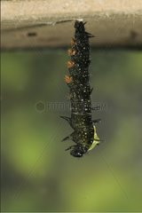 Begining of the pupation of Camberwell Beauty caterpillar