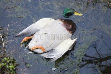 Dead wild duck in a stream France