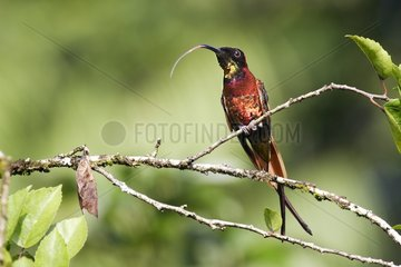 Male Crimson topaz posed on a branch Venezuela
