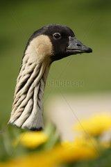 Portrait of a Hawaiian Goose Nice France