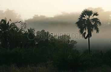 Misty Lala-palm Kruger National Park South Africa
