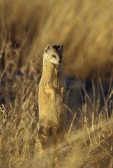 Yellow Mongoose standing on its back legs Namibia