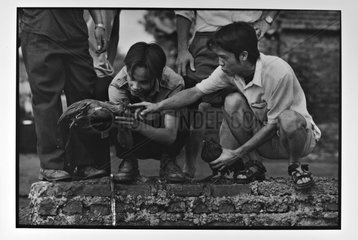 Fighting roosters at the port of coal in Hanoi Vietnam