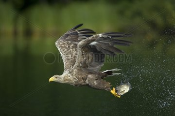 White-tailed Eagle capturing fishes Germany