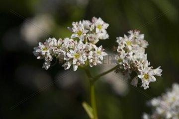 Balck wheat flowers France