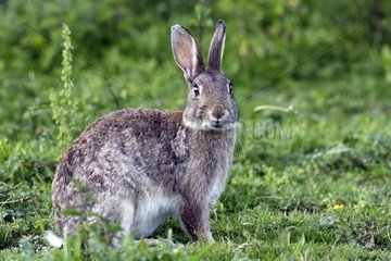 European rabbit sitting in the grass France