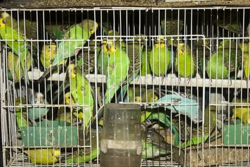 Parakeets in a pet store in Shanghai China