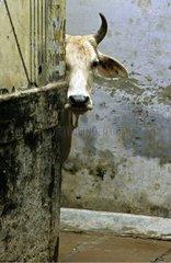 Sacred cow in the streets of Vârânaçî India