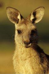 Portrait de Kangourou gris de l'est Australie
