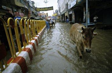 Holy cow in the flooded streets of Vârânaçî India
