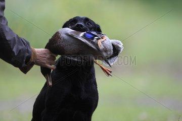 Labrador Retriever bringing back a duck to its master