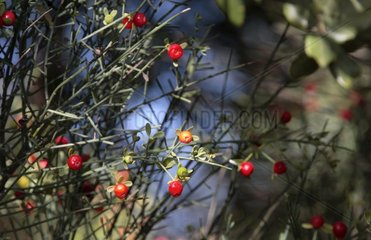 Plant procucing red bays fruits in Provence Vaucluse