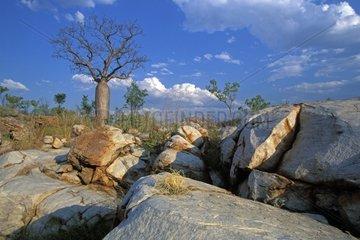 Baobab en saison sèche Région des Kimberley Australie