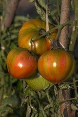 Tomates Coeur de Boeuf en septembre à Barfleur