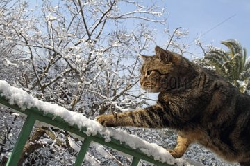 Cat on a ramp in a garden under the snow in winter France