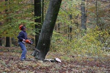 Logger cutting a beech in Belgium