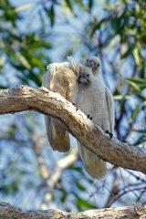 Little Corella couple wheedling Australie