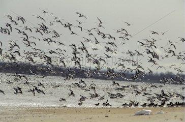 Flight of Eurasian Oystercatchers Bay of Veys Normandy