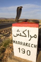 Egyptian Cobra observing on a road mile Morocco
