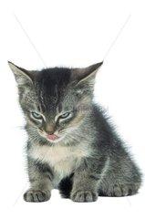 Portrait d'un chaton se léchant le museau