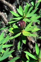 Balsam spurge in fruit on the Canary Islands Spain